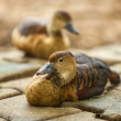 Cute duck — Stock Photo #33741813