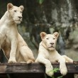 White Lion — Stock Photo #33745479