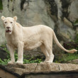 White Lion — Stock Photo #33745781