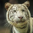 White Tiger. — Stock Photo