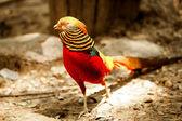 Pheasant — Zdjęcie stockowe