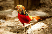 Pheasant — Stock fotografie