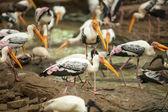 Kabbaw birds. — Stock fotografie