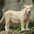 White Lion — Stock Photo #33750803