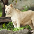 White Lion — Stock Photo #33750917
