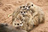 Meerkat. — Zdjęcie stockowe