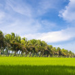 Coconut farm with rice fields bright sky background. — Stock Photo #31019439