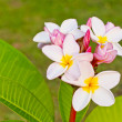 Stock Photo: Frangipani flower.