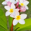 Frangipani flower. — Stock Photo