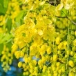 Golden shower tree beautiful — 图库照片