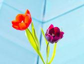 两个郁金香 — 图库照片
