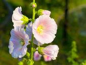Close up of beautiful malva flowers — Stock Photo