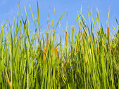 Green grass with blue background — Stock Photo