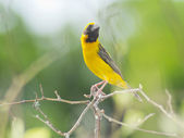 Asian Golden weaver, Male Bird from Thailand — Stock Photo