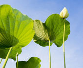 Lotus flower and green leaf on blue sky — Stock Photo