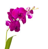 Orchid flowers isolated on white background — Stock Photo