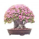 Pink desert Rose blooming — Stock Photo