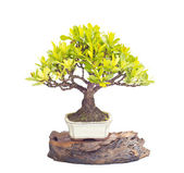 Lxora bonsai tree isolated — Stock Photo