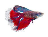 Double tail siamese fighting fish — Stock Photo