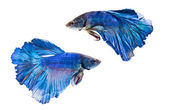 Siamese fighting fish, on white background. — Stock Photo