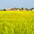 Rice farms in the surrounding community. — Stock Photo