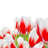 Red tulips isolated on white background — Stock Photo