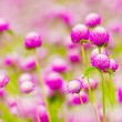Globe amaranth or Gomphrena globosa — Stock Photo