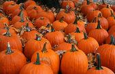 Many Pumpkins — Стоковое фото