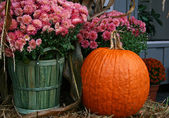 Pink Chrysanthemums with a Pumpkin — Stock Photo
