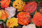разноцветные листья — Стоковое фото
