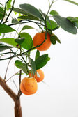 Orange tree — Stock Photo