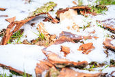 Fir bark under snow — Stock Photo