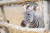 Zebra in the zoo — Stock Photo