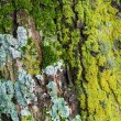 Moss and Lichens on Tree Bark — Stock Photo