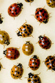 Multi-colored Asian Lady Beetles — Stock Photo