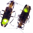 Flashing Fireflies — Stockfoto
