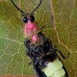 Firefly on Leaf - Lightning Bug — Stock Photo