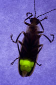 Firefly Flashing at Night - Lightning Bug — Stock Photo