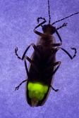Firefly Flashing at Night - Lightning Bug — Stock Photo