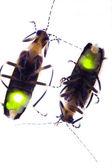 Flashing Fireflies — Stock Photo