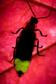 Firefly Flashing - Lightning Bug — Stock Photo