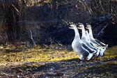 Kazlar sürüleri — Stok fotoğraf
