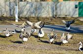 Flocks of geese — Stock Photo