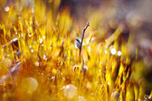 роса на мосс — Стоковое фото