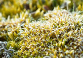 Frost on moss — Stock Photo