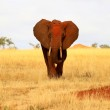 African red elephant charging — Stock Photo