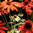 White Echinacea flower ( cone flower ) — Stock Photo