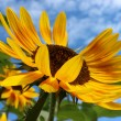 Yellow sunflower — Stock Photo #31845173
