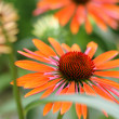 Echinacea flower ( cone flower ) — Stock Photo