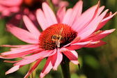 Echinacea purpurea with honey bee — Photo